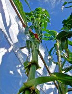 Tall Corn Seeds